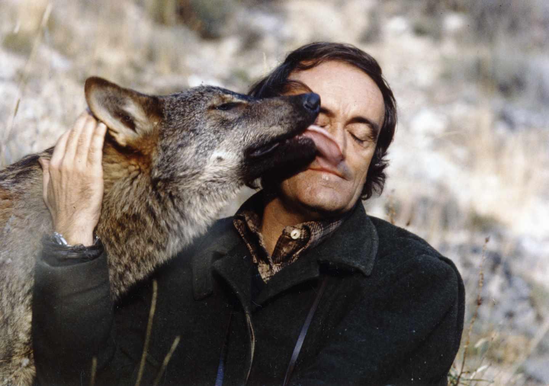 El Lobo Sigue Amenazado 38 Años Después De Félix Rodriguez De La Fuente