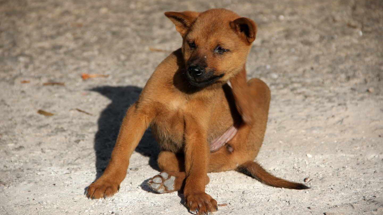 Del perro al lince: las mascotas propagan las pulgas por el mundo