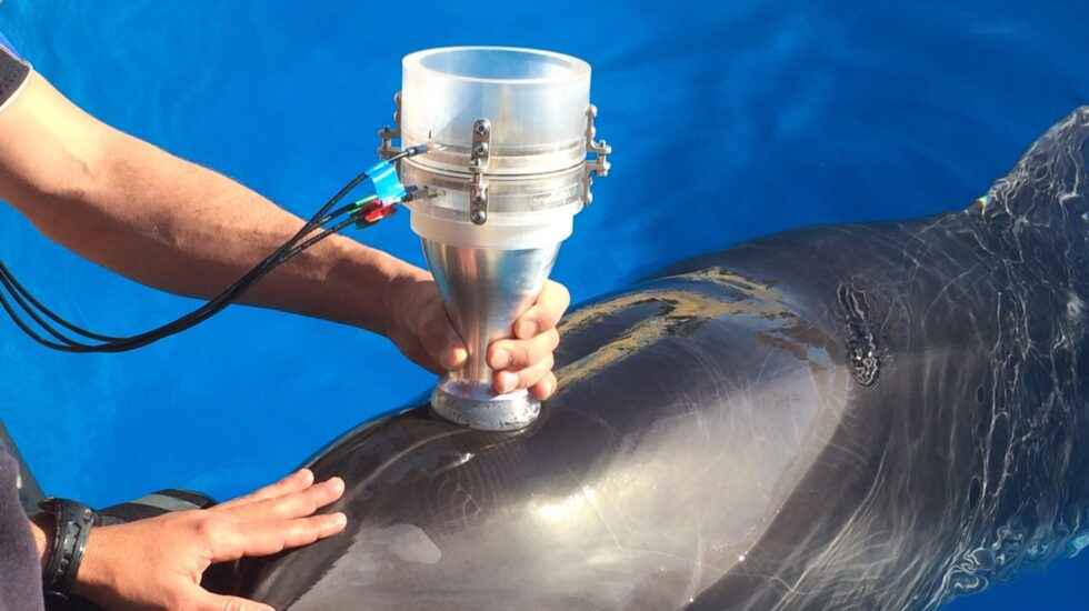 Estudiando la respiración del delfín