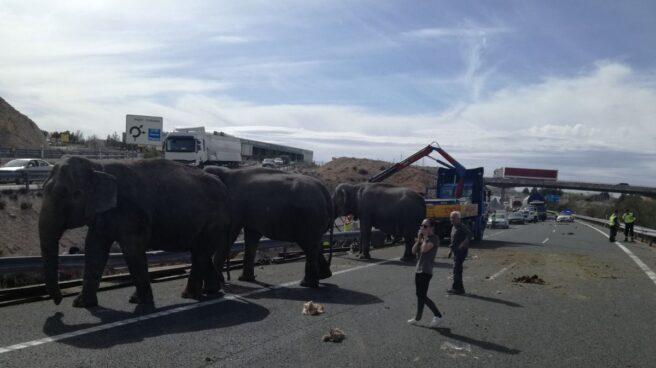 Elefantes en la vía tras el vuelco de un camión en la autovía A-30.