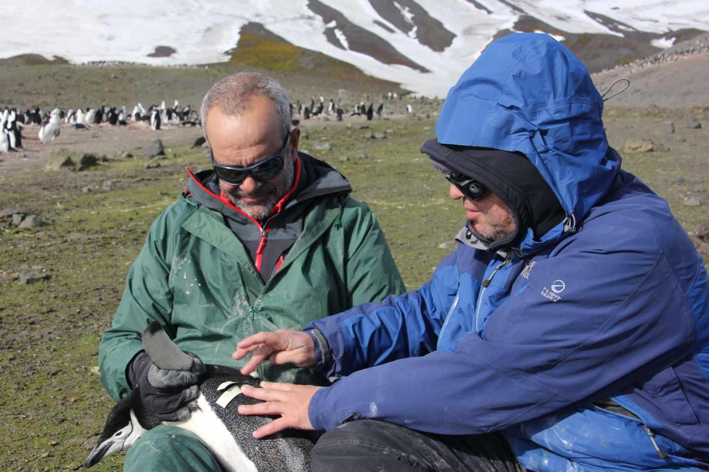 Investigadores de Pingufor colocan un dispositivo GPS a un pingüino.