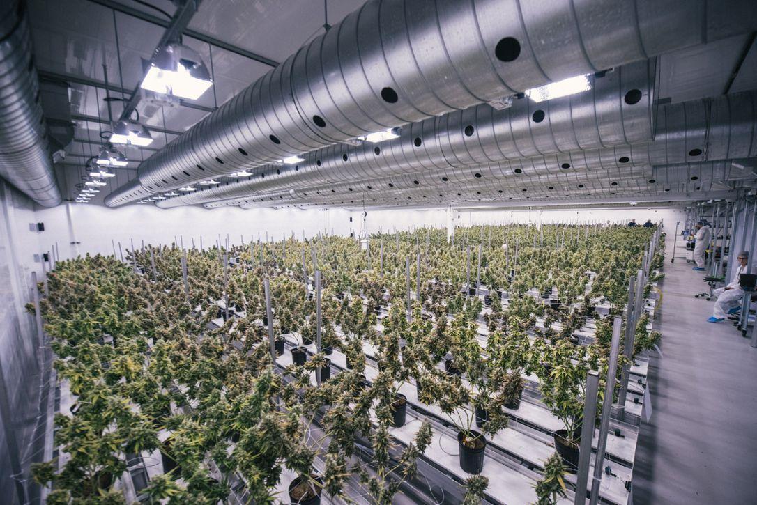 Plantación de Canopy Growth.