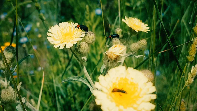 Las flores emparentadas se coordinan para atraer a inectos polinizadores