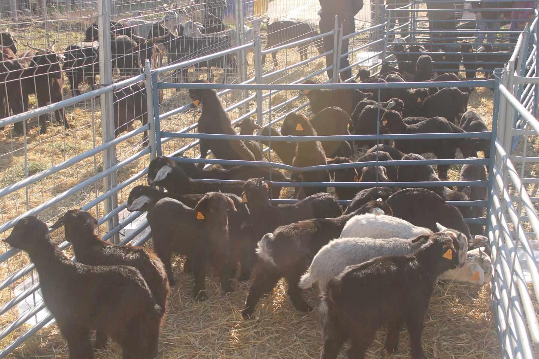 El director de la FAO pide detener el uso de antibióticos para el crecimiento de animales de granja.