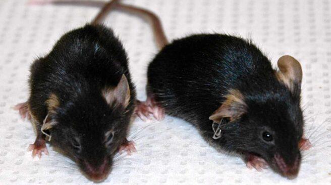 Ratón envejecido por una mutación y ratón rejuvenecido en laboratorio