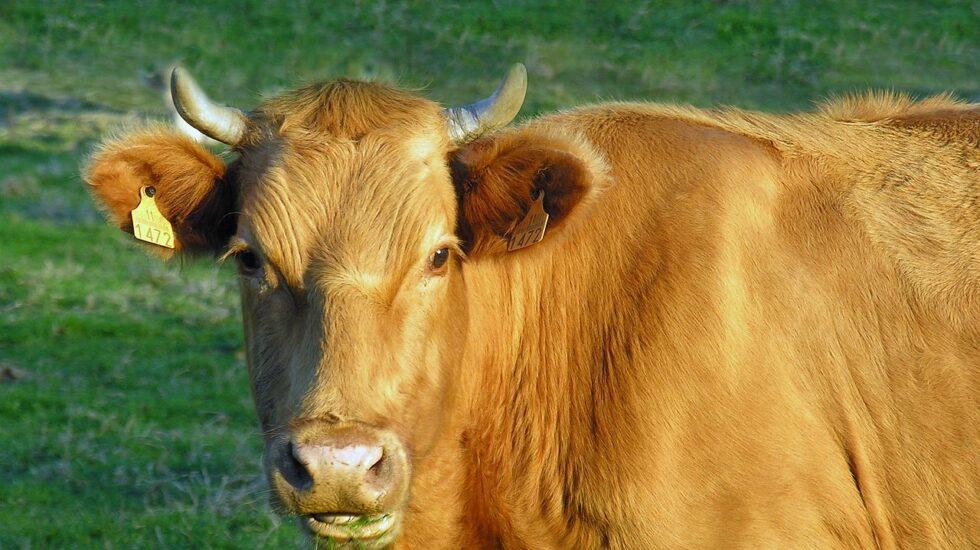 Un porcentaje de las vacas gallegas tienen el gen A2A2 que genera leche más digerible.