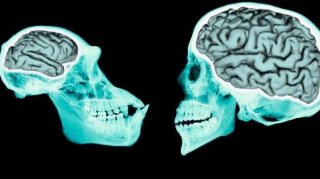 Comparación entre el cerebro de un chimpancé