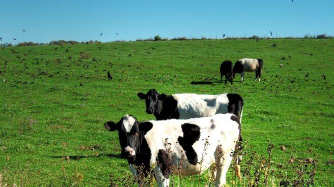 La industria láctea compite por liderar el bienestar animal: Central Lechera Asturiana y Pascual lanzan sendas certificaciones.