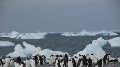 Pingüinos en la Antártida, testigos de excepción del cambio global
