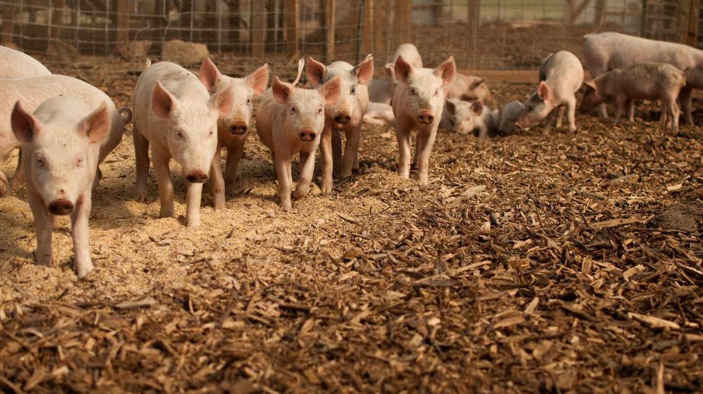 Usar un 30% menos de antibióticos en granjas reduce un 50% los genes de resistencia.