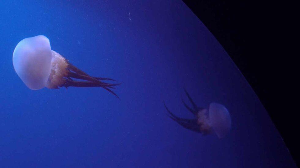 Medusas en el Oceanogràfic