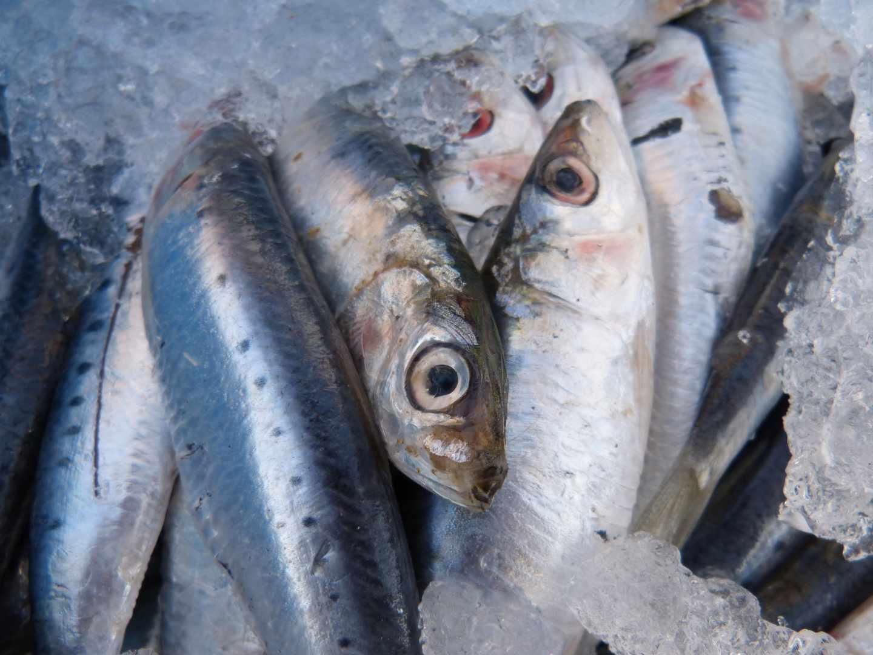 La sardina ibérica en riesgo de colapso