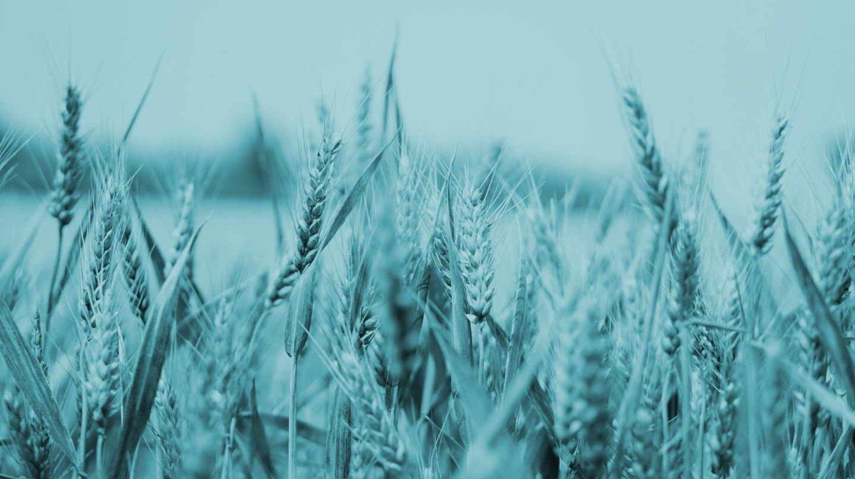 Plantación de trigo.