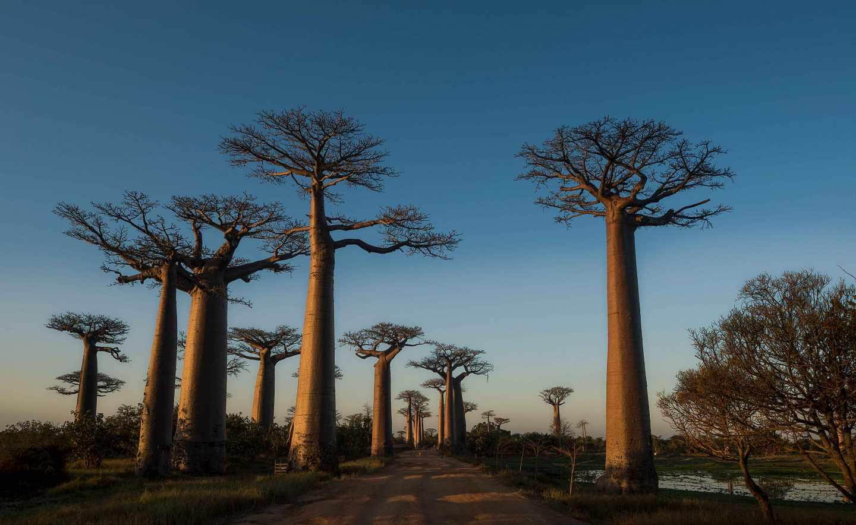 Avenida de los baobabs.