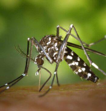 La lucha millonaria de las administraciones contra el mosquito tigre