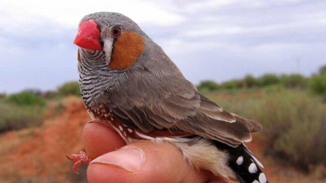 Ejemplar de pájaro diamante