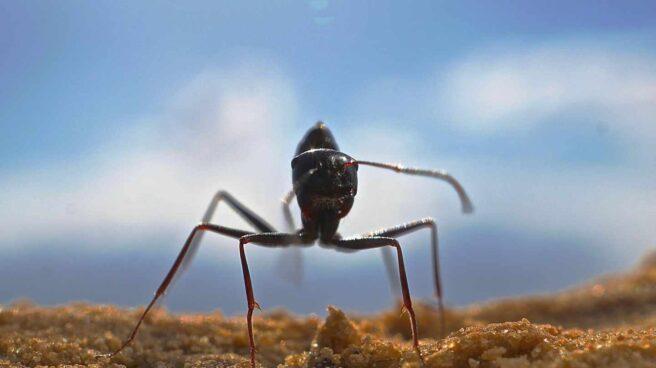 Ejemplar de Cataglyphis fortis, hormiga del desierto