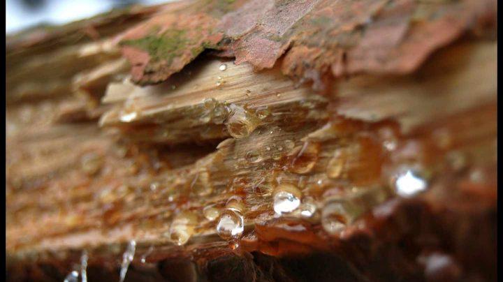 Resina de pino
