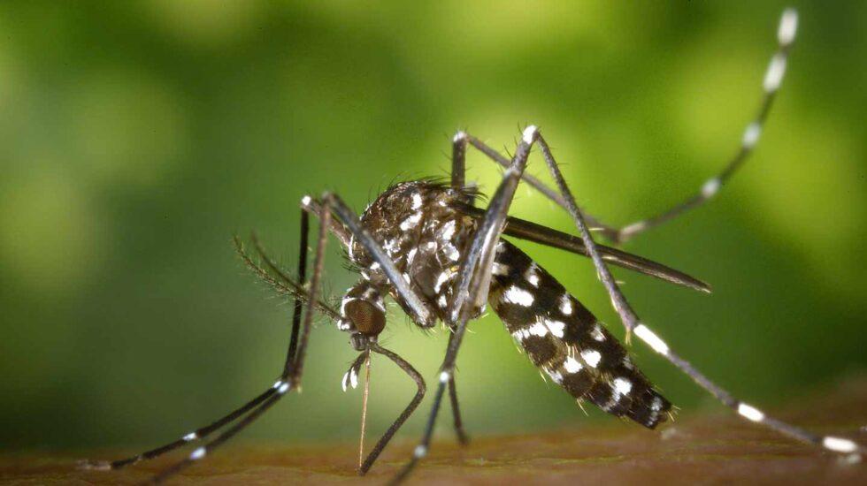 El aedes albopictus es uno de los insectos responsables de la transmisión del dengue.
