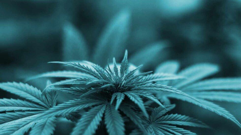 Planta de cannabis.