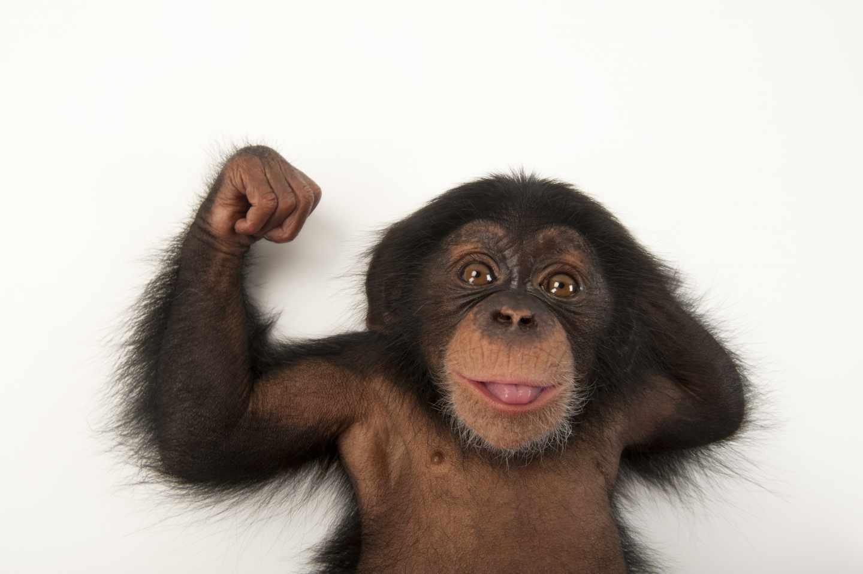 Bebé chimpancé, Pan troglodytes, de tres meses llamado Ruben en el Lowry Park Zoo de Tampa