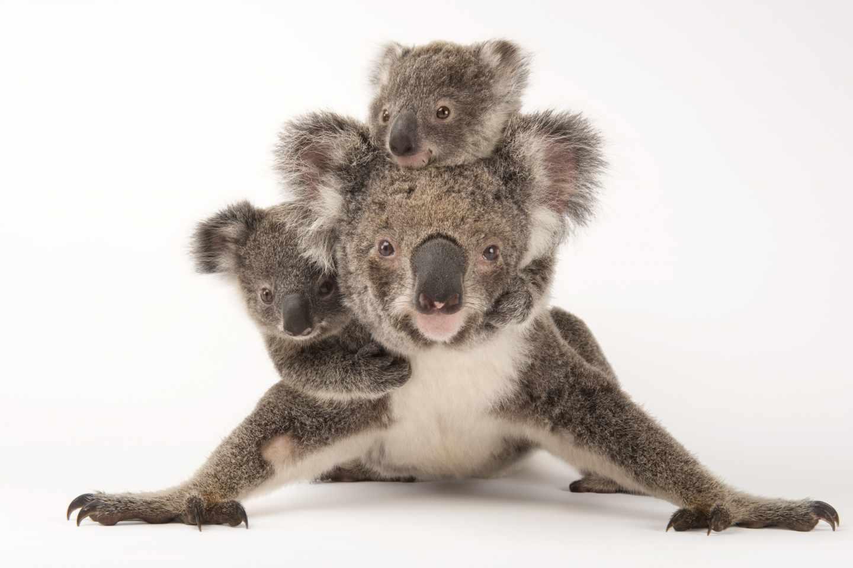 Koala, Phascolarctos cinereus, federalmente amenazado con sus bebés en Australia. Zoo Wildlife Hospital.