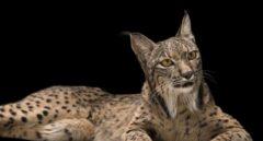 Lince ibérico en peligro de extinción, Lynx pardinus, en el Zoo de Madrid