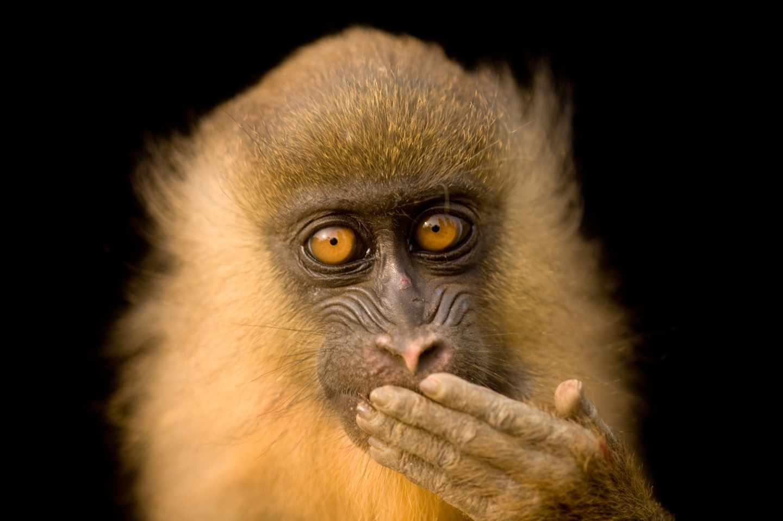Mandril cautivo de cinco meses, Mandrillus sphinx, en Malabo, Guinea Ecuatorial.