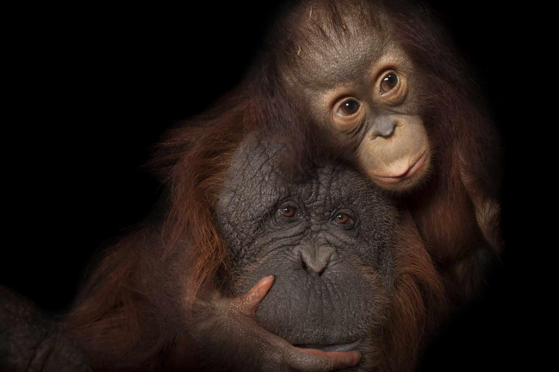 Bebé orangután de Borneo, Pongo pygmaeus, en peligro de extinción llamado Aurora, con su madre adoptiva, Cheyenne, un cruce de Borneo / Sumatra, Pongo pygmaeus x abelii, en el Houston Zoo Park