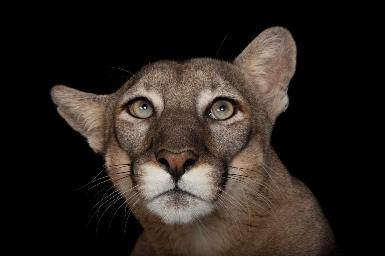 Pantera de Florida, Puma concolor coryi, en peligro de extinción, en el Lowry Park Zoo de Tampa