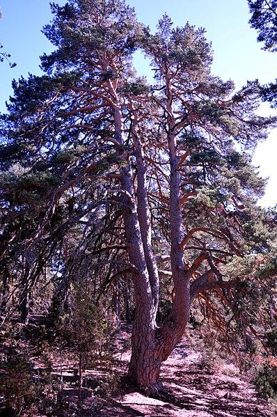 Pino Vicente o de las Tres Garras. El primero del catálogo de árboles singulares de la Comunidad Valenciana. Fotografía: Alfredo Sánchez Garzón