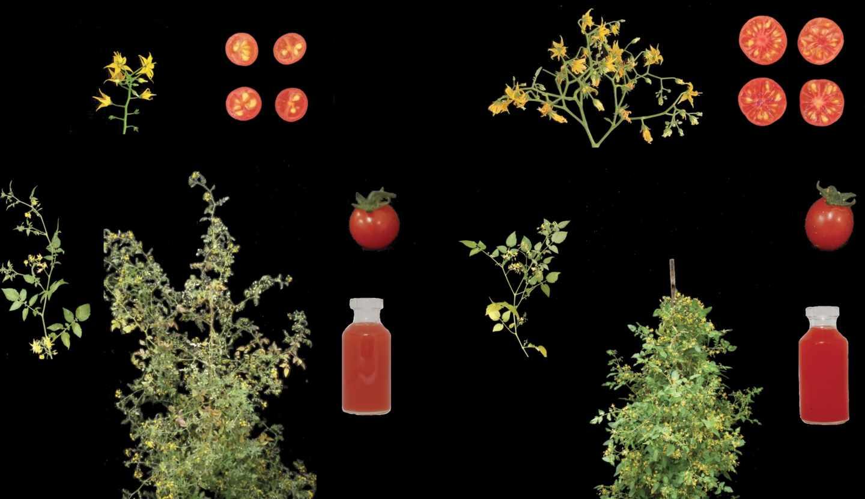 Tomate silvestre (izquierda) y toma domesticado (derecha)