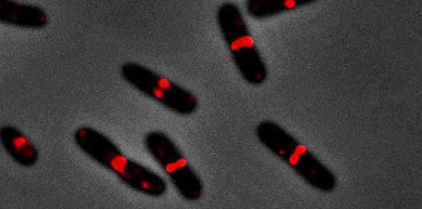 Bacterias Escherichia coli en el proceso de crecimiento activo