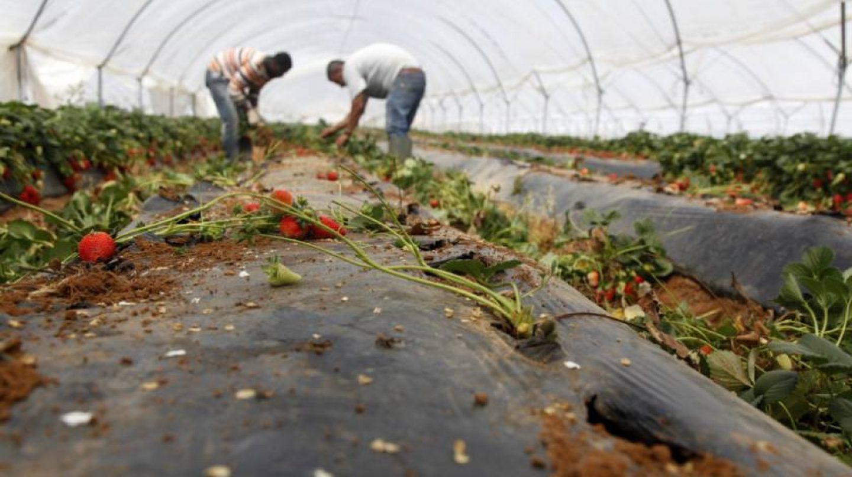 Dos hombres trabajan en una plantación fresera de Cartaya, en la costa occidental de Huelva.