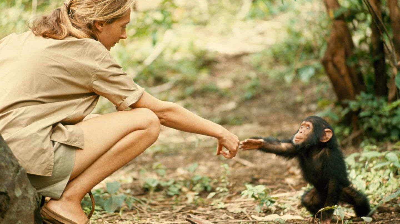 La primatóloga Jane Goodall con una cría de chimpancé. (Hugo Van Lawick).