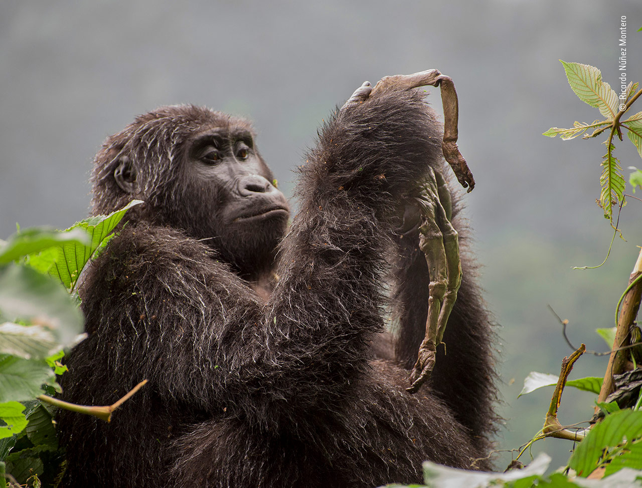 La gorila que llora a su bebé muerto y otras fotos para amar a la naturaleza