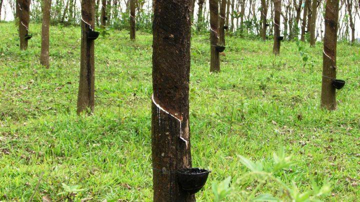Plantación de árboles de caucho.