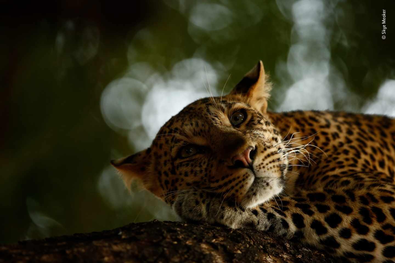 Leoparda relajada