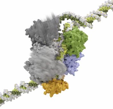 Movimientos en el complejo formado por Cas12a, el CRISPR ARN ,y el ADN procesado.