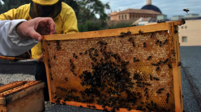 Los monocultivos, el exceso de pesticidas y la sequía están detrás de las migraciones de abejas a las ciudades