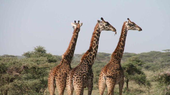 Grupo de jirafas
