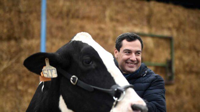 El candidato del Partido Popular, Juanma Moreno, acaricia una vaca durante su visita a una granja en Córdoba.