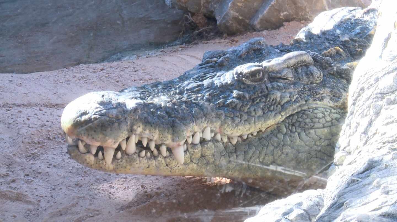 Hembras de cocodrilo Bioparc Valencia