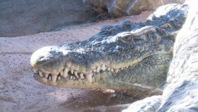 Policía y Guardia Civil buscan un cocodrilo avistado en Simancas (Valladolid)