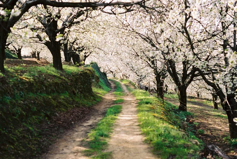 Cerezos en flor en el Valle del Jerte.