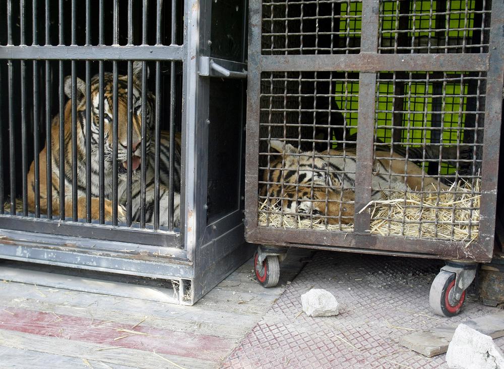 Dos tigres enjaulados