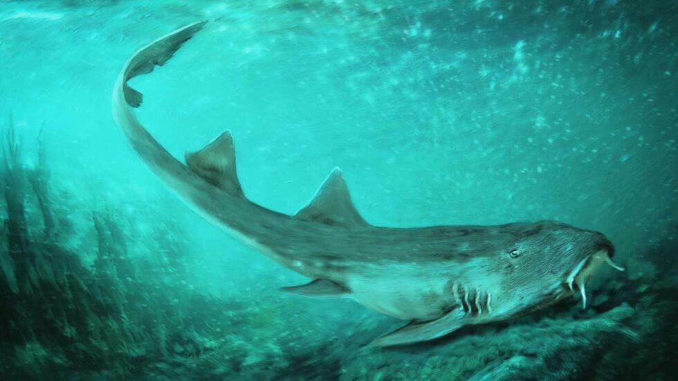 Tuburón gato de Galaga