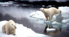 Dos osos polares.