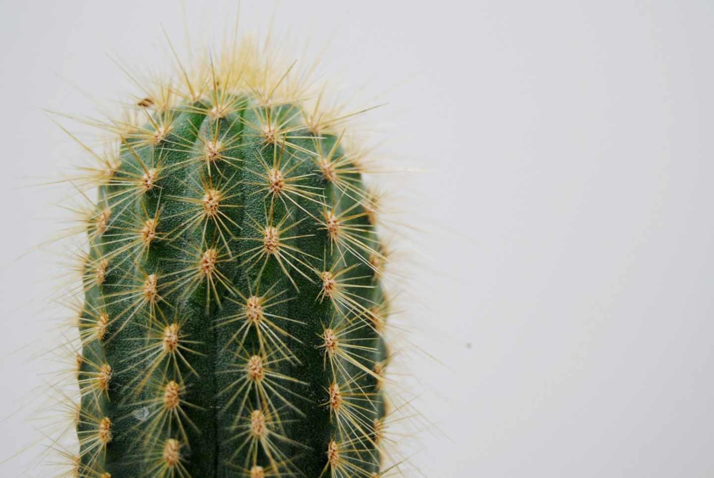 Las púas de los cactus pueden acumular agua.