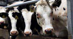 Varias vacas en una granja.